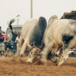 Bull11