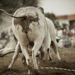 Bull9