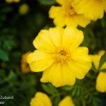 yellow-Flower2