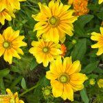 yellow-Flower3