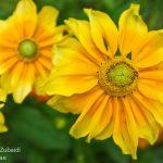 yellow-Flower4