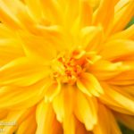 yellow-Flower5
